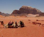camels-resting-in-wadi-rum-desert-jordan-Mazada Tours