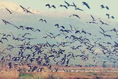 vintage-style-photo-of-pastoral-spring-landscape-of-hula-valley-reserve-and-migrating-cranes-1